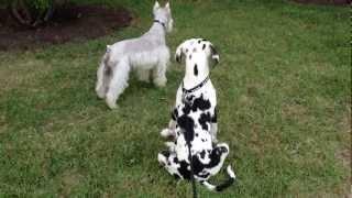 Great Dane Puppy - Walking On Leash