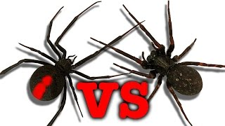 Redback spider vs black house spider touch taste kill