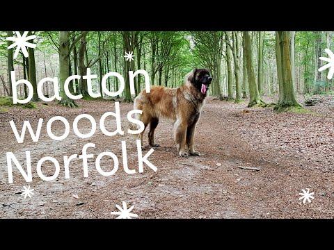 #youtuber #leonbergeradventures #love bacton woods norfolk , leonberger dog walk