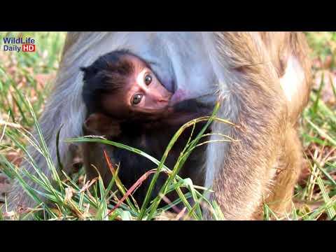 Lori Dirty Baby Monkey Crying Asking Mother For Milk, Newborn Baby Monkey