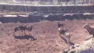 動物園でひつじが喧嘩してました! 物凄いです! A sheep quarrelled at...