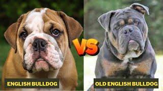 Olde English Bulldogge Vs English Bulldog  Comparison Between Two Bull Dogs