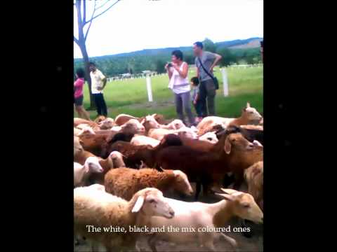 Sheep at Malaysia UK Farm 3gp