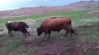 Repeat youtube video Fight Bulls