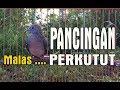 Perkutut Lokal Gacor Panjang Kutut Giras Malas Pun Ikut Manggung Gacor  Mp3 - Mp4 Download