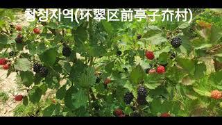 [웨이하이/위해]-산딸기/복분자농장