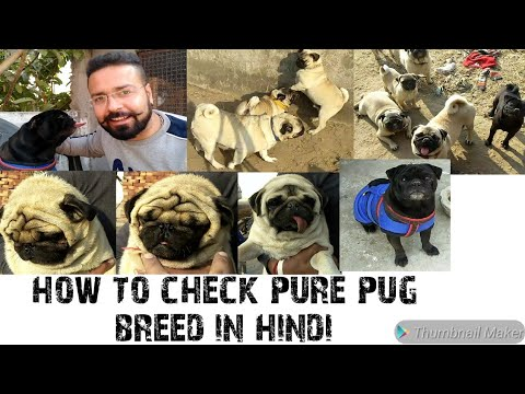 How to Check Pure Pug Breed in Hindi || Pure Pug Dog || Pug Facts