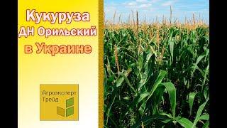 Кукуруза ДН Орильский в Украине