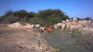 2012 12 2 Plaine alluviale du fleuve Sénégal. Digue n°2. Vidéo par Frédéric Bacuez, PC020010 4)