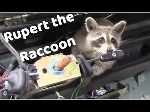 Compilation of Rupert the Raccoon videos (re edit)