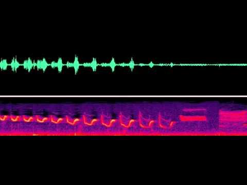 Canyon Wren Audio