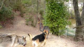 ウルフハウンドとウルフ犬は仲が良かった.