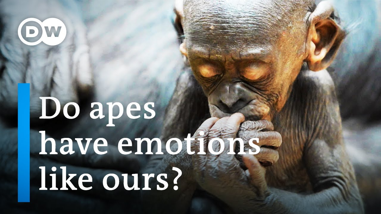 Download Great apes - How intelligent are our closest relatives? | DW Documentary