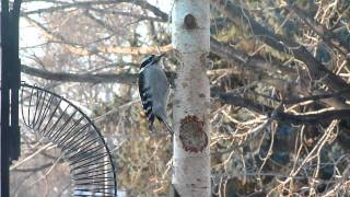Downy Woodpecker at Suet Feeder (brief)