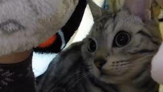 ハチのオモチャに毛布の上から攻撃されたあめちゃん。母ちゃんのお股な...