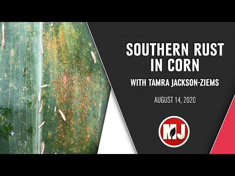Southern Rust in Corn | Tamra Jackson-Ziems | August 14, 2020