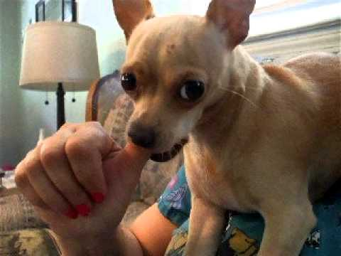 My little dog sucking my Thumb :) - YouTube