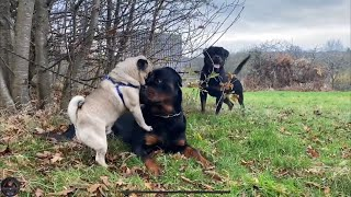 Rottweilers Meet A Pug For The First Time