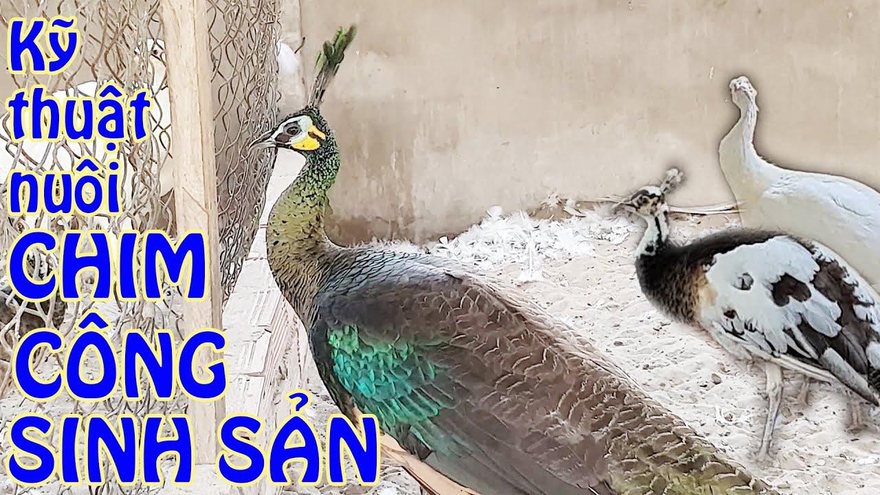 Kỹ thuật nuôi chim công sinh sản | Cách phân biệt chim trống – mái | Nhà nông làm giàu