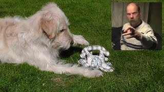 Golden Retriever Poodle - Goldendoodle Dog On Camera; Funnier Hobby Than Homemade Barking Attacks