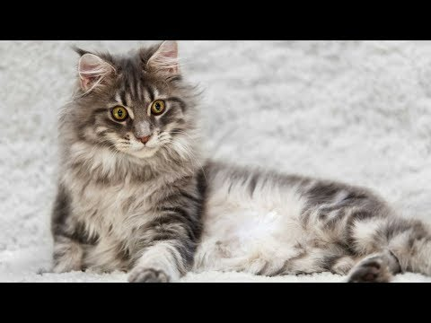 Maine Coon / Cat Breed