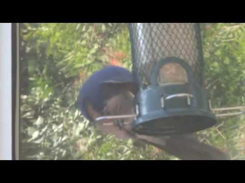 A Western Scrub-Jay screaming before having food
