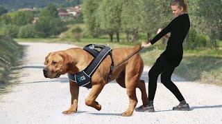أقوى كلب في العالم لن تستطيع سحبه أبدا