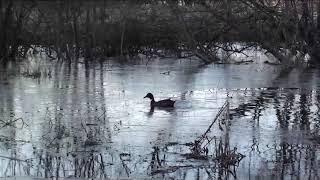 (19) Весенняя охота на селезня с подсадной уткой.