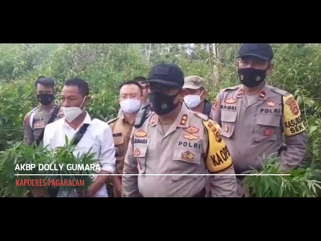Penemuan Ladang Ganja di Kota Pagaralam, Hanya 200 Meter Dari Pemukiman Warga