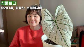 [식물토크] 잎이 나온 칼라디움 칸디덤, 또 꽃 핀 수…