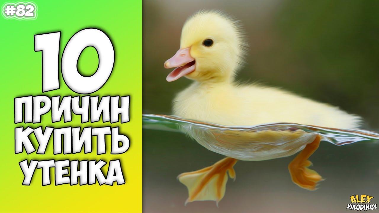 10 ПРИЧИН КУПИТЬ УТЕНКА - Интересные факты!