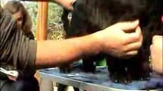 Английский кокер спаниель стрижка корпус