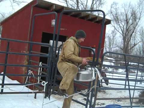 Micro Dairy W/ Surge Milker Milking cows in February
