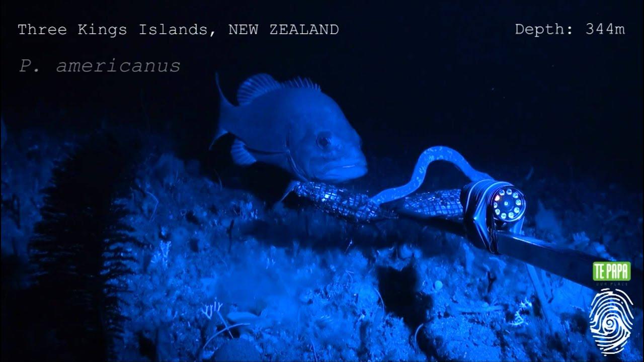 Hagfish predatory behaviour and slime defence mechanism - YouTube for Hagfish Eating Fish  113cpg