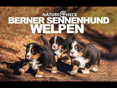 Berner Sennenhund Welpen Youtube