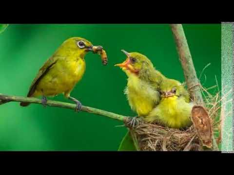 suara pikat burung pleci