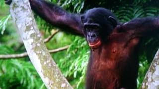 閲覧注意※】 共食いするチンパンジー・微笑ましいチンパンジー・猿を襲...