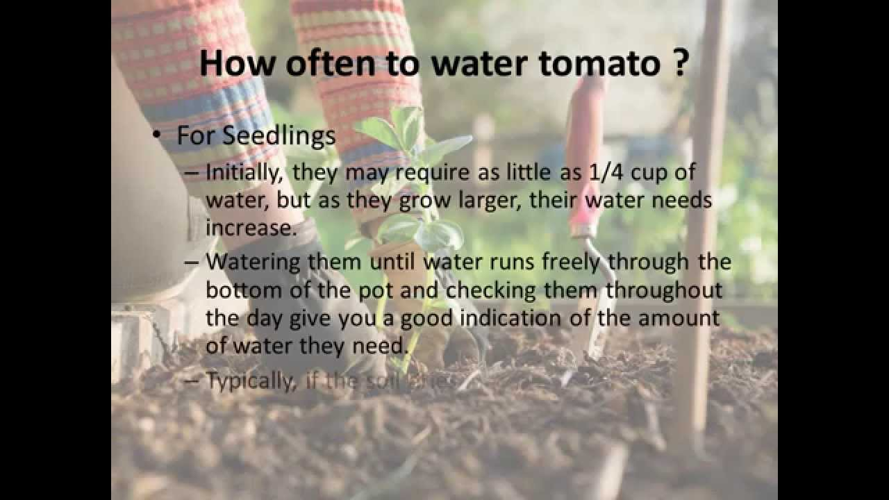 How Often Do You Water Tomato Plants?