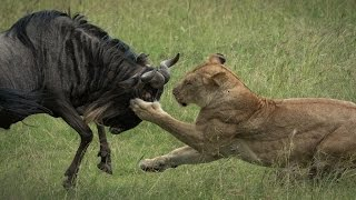 The Enkoyonai pride at their most effective in the Olare Motorogi C...