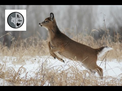 White-tailed Deer - Films Nature Web TV