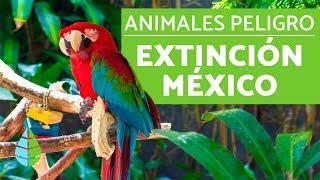 10 animales en PELIGRO DE EXTINCION en MEXICO