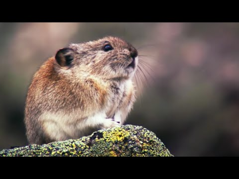 Collared Pika Prepares For Winter | Wild Alaska | BBC