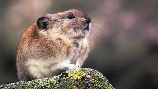 Collared Pika Prepares For Winter - Wild Alaska - BBC