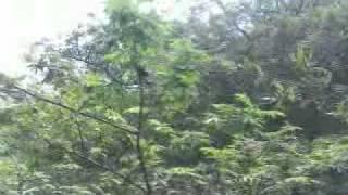 Caçada De Raposa   Foxhound Americano Com Beagle   Parte 1