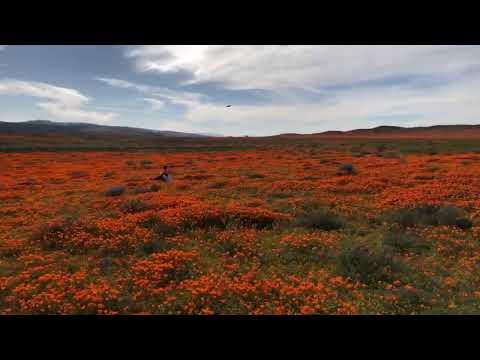 Калифорнийский мак, цветочные поля, съёмники фильма