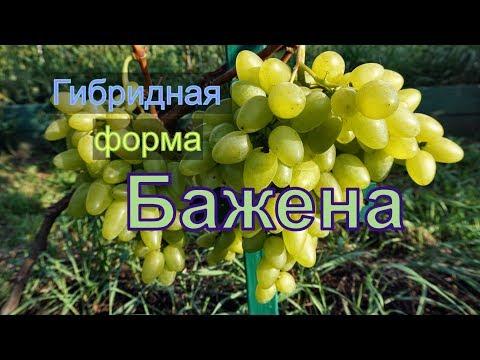 Виноград Беларуси . Лидчина .Сорт винограда -Бажена.