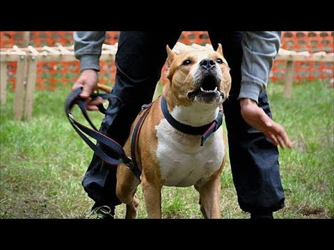 American Staffordshire Terrier - Powerful and Strong Breed