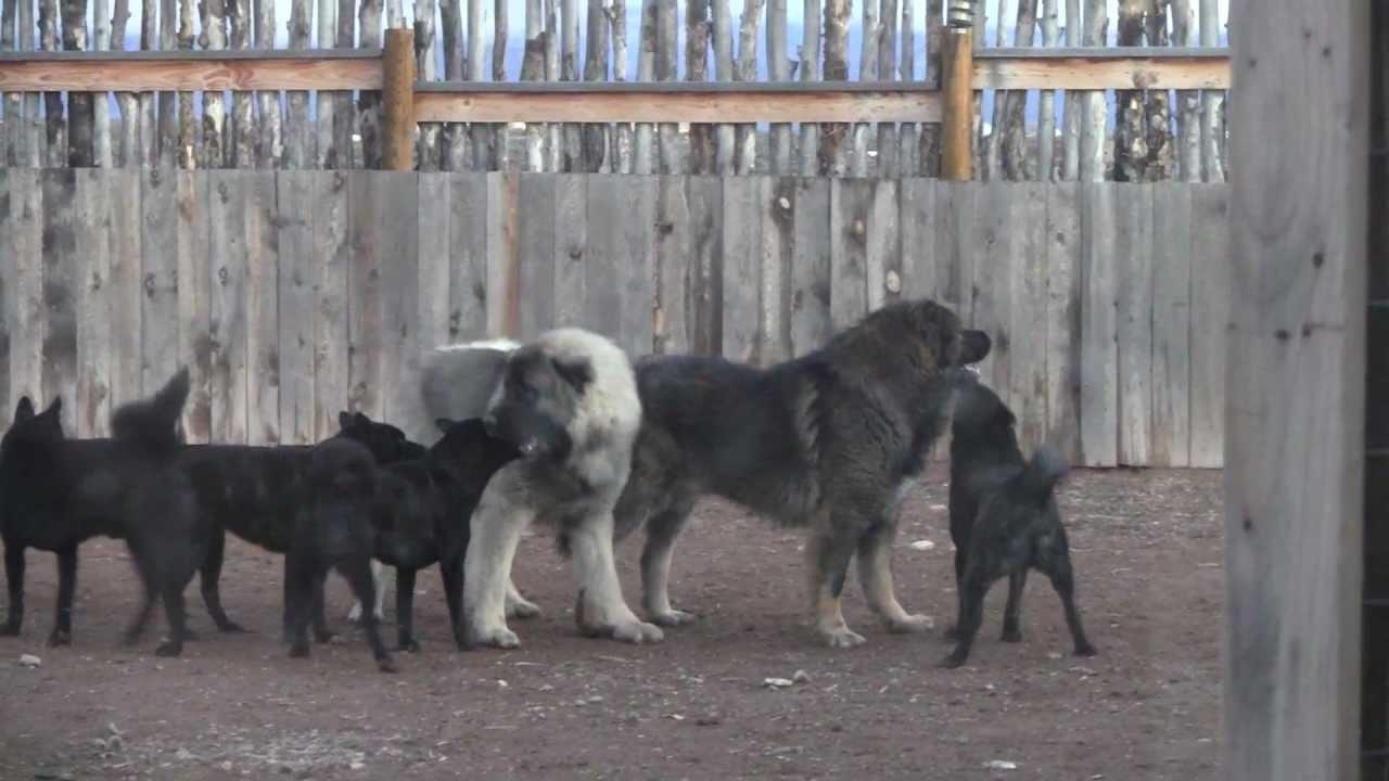 Vs Shepherd Dog Wolf Caucasian