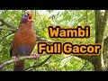 Asli Suara Burung Wambi Gacor Full Isian Untuk Masteran  Mp3 - Mp4 Download