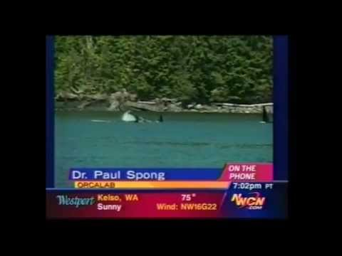 "NorthWest Cable News EXTRA (WA, OR, ID): ""LIVE: Springer the Orca is Free!"""